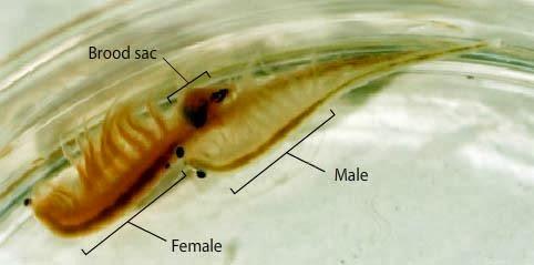 artemia fase adulta