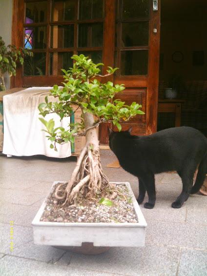 Ficus Microcarpa var. Indica... - Página 2 IMAG0179