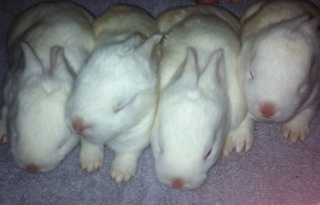 how to tell if a rabbit has abandoned her babies