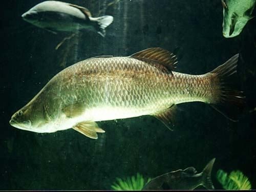 Рыба баррамунди