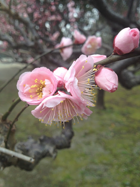 Closeup of pink ume flowers