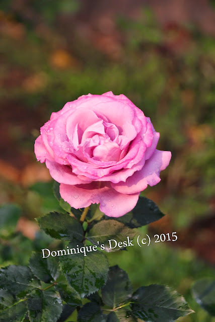 A purple pink rose