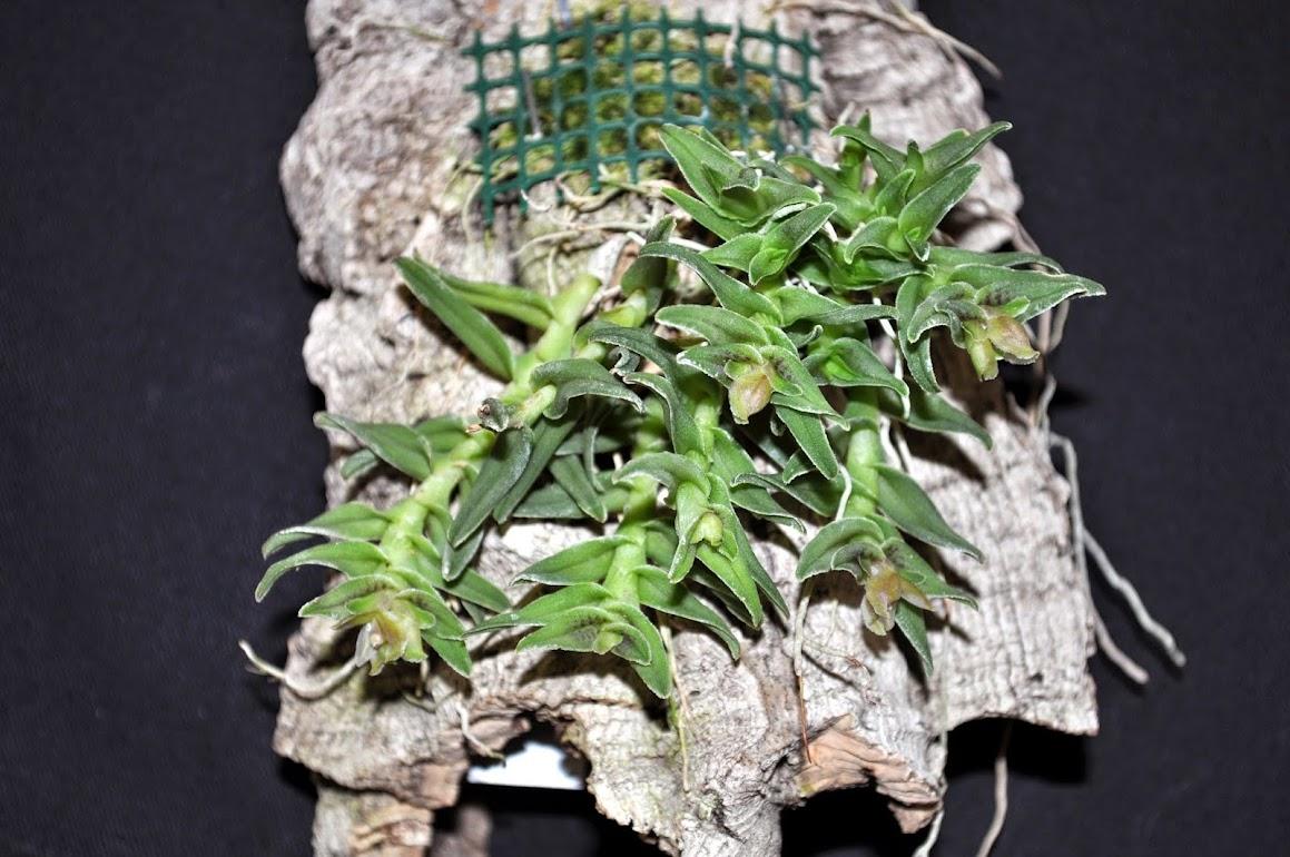 Epidendrum congestum  DSC_0049