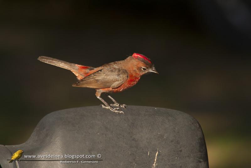Brasita de fuego (Red-crested Finch)