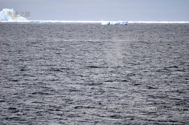 【南極探索旅遊】第一次遇見鯨魚的感動!座頭鯨露背秀~Humpback whale