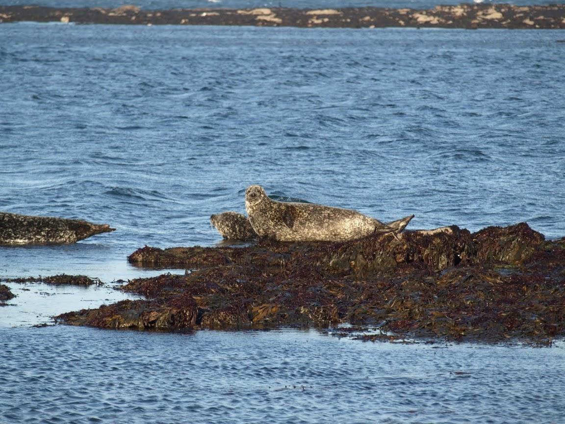 Seal colony, Inis Mor, Aran Islands, Ireland