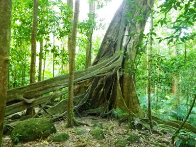 The huge tree roots in the Daintree Rainforest
