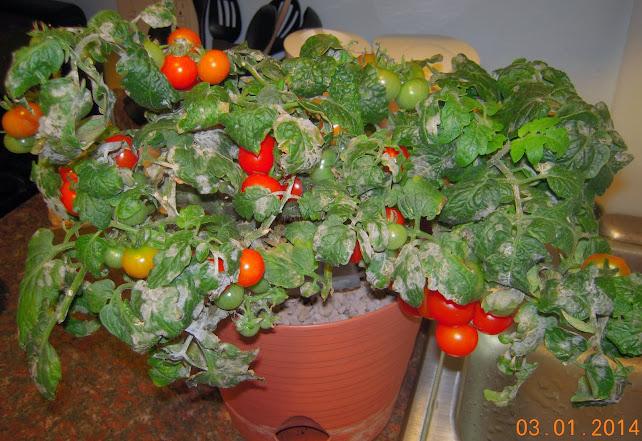 15 week coirstone dwarf tomatoes