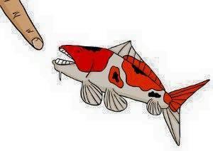 Cá Koi cắn người