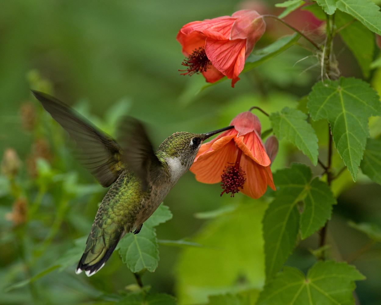 crie jardim como atrair beija flores para o jardim. Black Bedroom Furniture Sets. Home Design Ideas