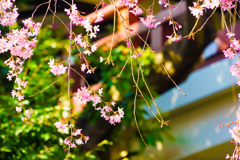 増上寺 桜 写真 18