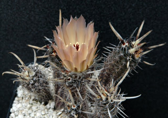Pour vous quel est le cactus cierge le plus resistant au for Cactus exterieur resistant au froid