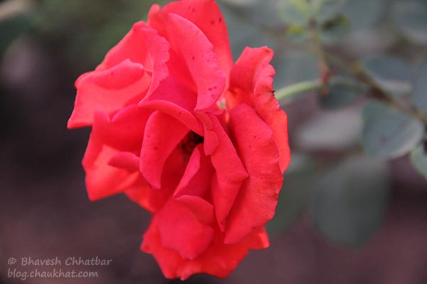A rose in the garden of St. Mary's Church, Pune