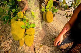 Jackfruit, czyli bochenkowiec (nie mylić z chlebowcem!). Najsmaczniejszy owoc jaki w życiu jedliśmy.