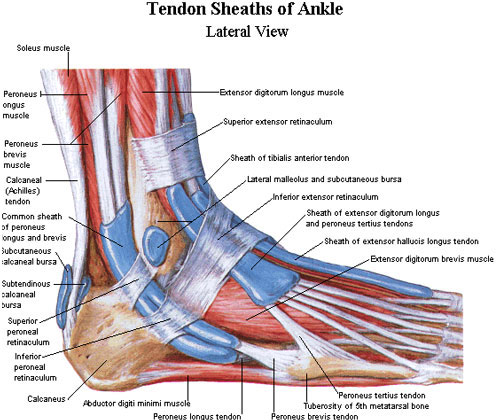 Anatomy of the ankle and foot tendons
