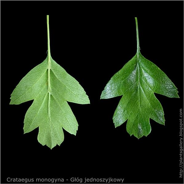 Crataegus monogyna - Głóg jednoszyjkowy liść z wierzchu i od spodu