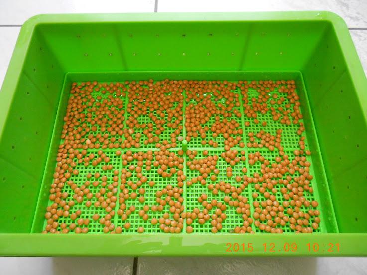 扁豆,紅扁豆,紅扁豆料理,紅扁豆食譜,紅扁豆營養,扁豆苗,綠扁豆,扁豆芽,扁豆種植,扁豆哪裡買