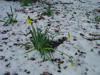 February Daffodils, Taxal