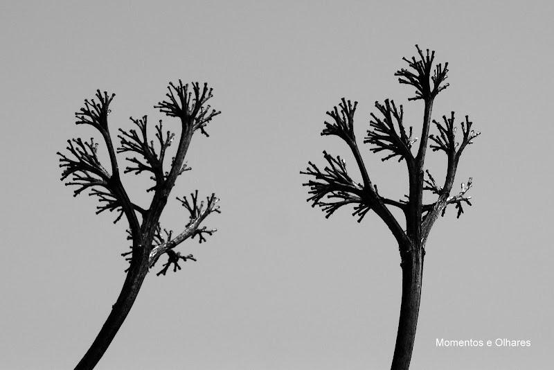 Gritos mudos, agave americana