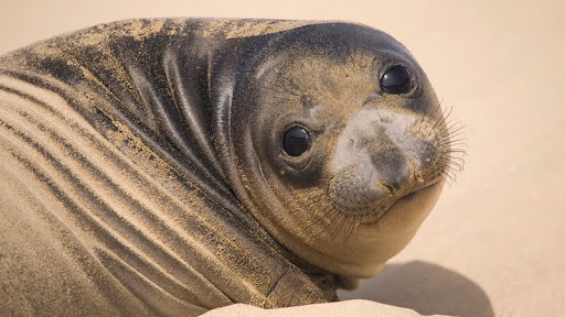 Northern Elephant Seal Pup, Ano Nuevo State Reserve, California.jpg