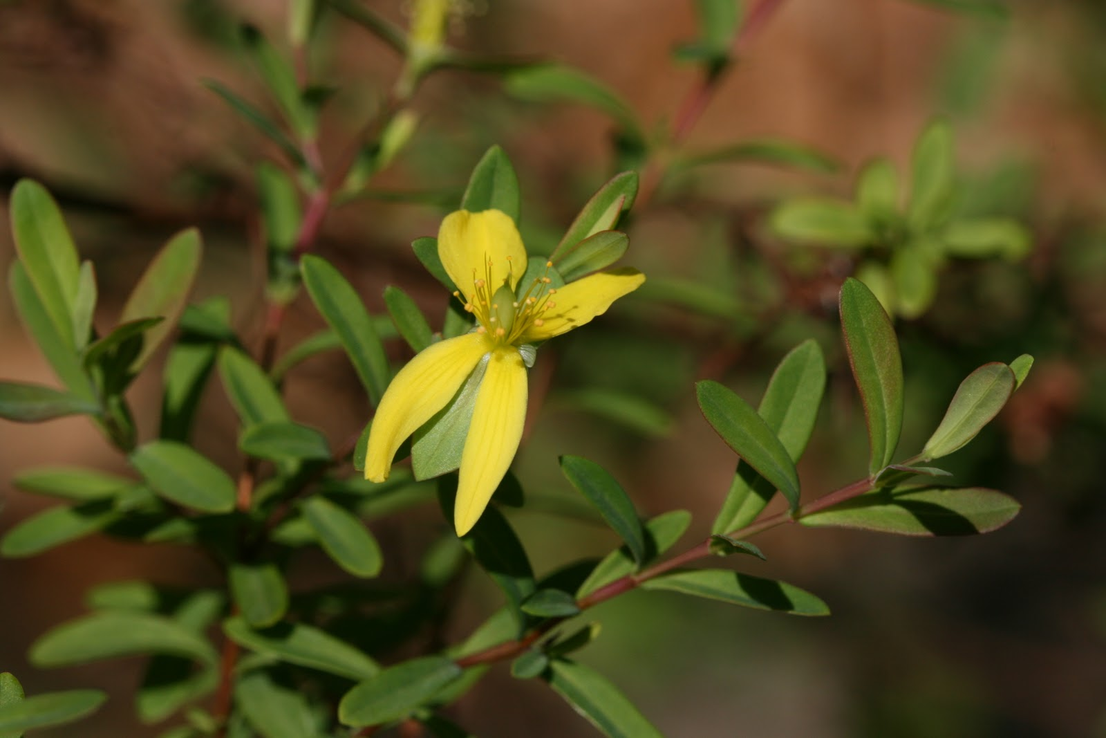 Native Florida Wildflowers St Andrews Cross Hypericum Hypericoides