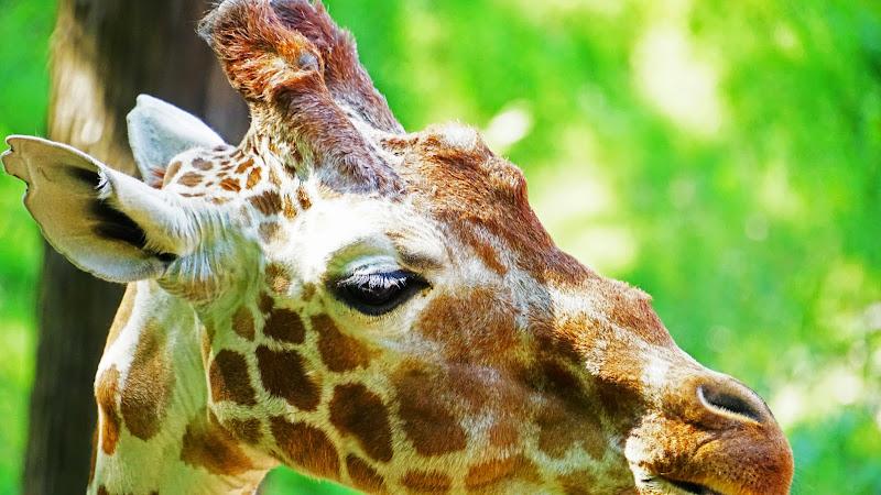 多摩動物公園 キリン 写真2