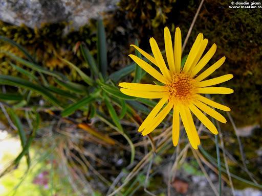 flori galbene de stanca