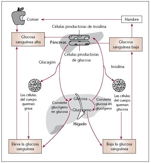 Función del eje hígado-páncreas en la regulación del metabolismo ...