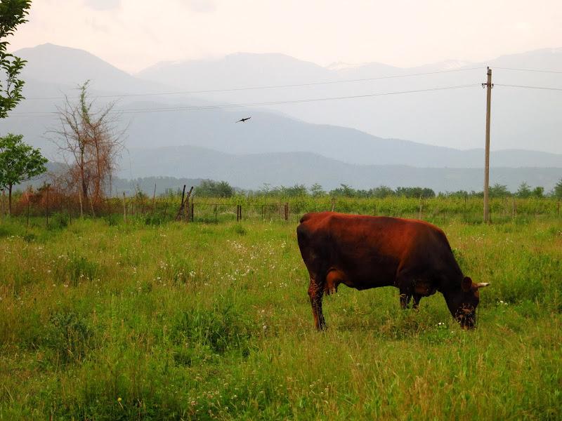 Eleni's cow