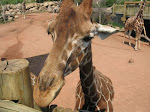 Extreme closeup - giraffes are actually kind of cute