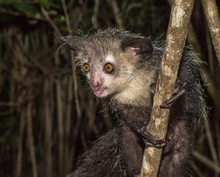 Aye-Aye Lemur, Madagascar