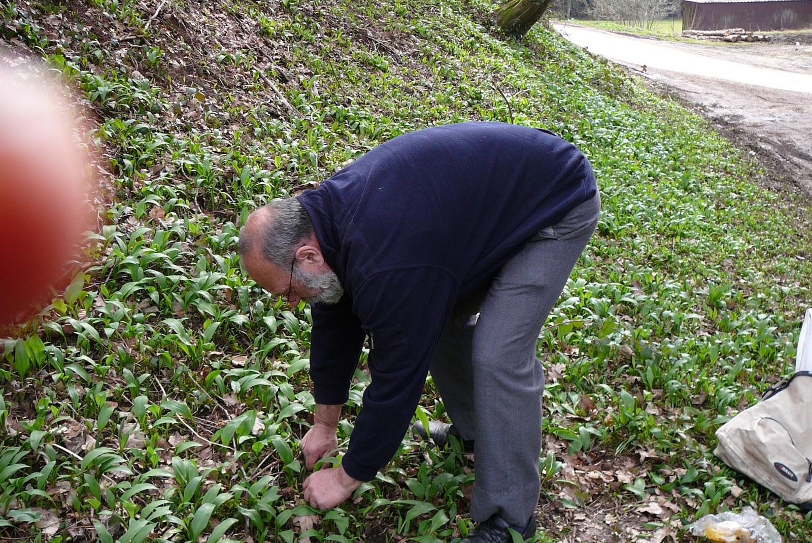 Les jardins du laveu ail des ours 1ere r colte - Ou trouver ail des ours ...