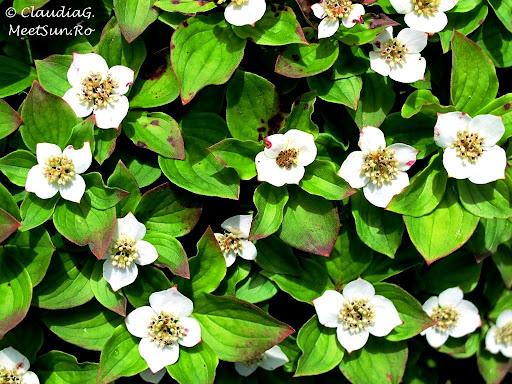 Tura la munte in Canada. Mont Orford.  textura cu flori albe