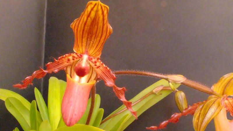 Paphiopedilum x glaucophyllum x chamberlainianum x glanduliferum DSCF3257