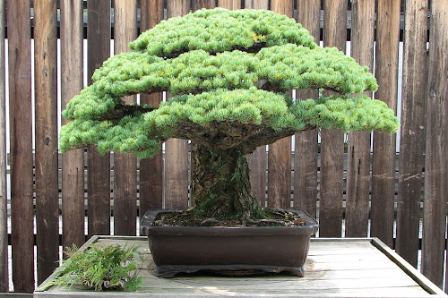 """Hiroshima Survivor"" Bonsai Tree"