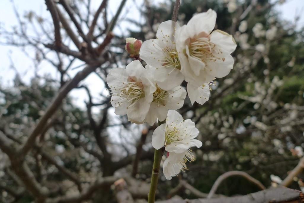 sakura shinjuku gyoen