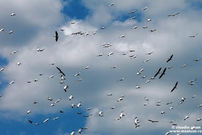 pasari din delta: un cer plin de stoluri de pelicani
