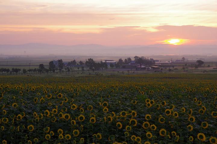 写真:朝陽を迎えるひまわりの里
