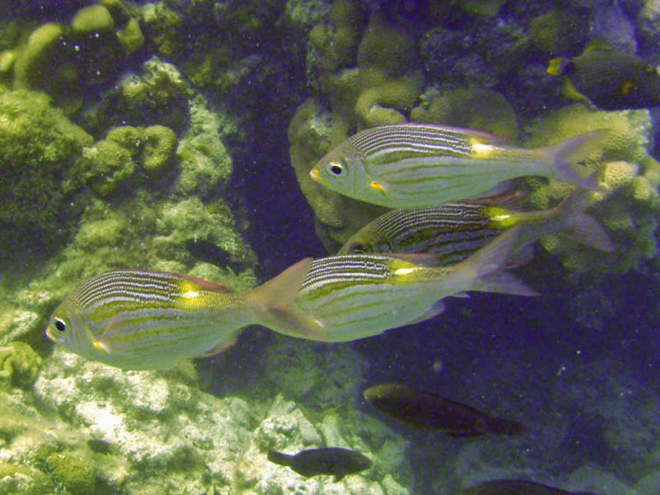 Gnathodentex aureolineatus (Striped Large-eye Bream), Aitutaki.