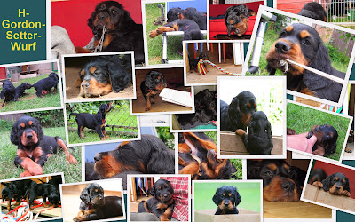 https://sites.google.com/site/kemtinsblackgordonsetter/home/wuerfe/h-gordon-setter-welpen