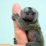 К чему снится маленькая обезьяна?