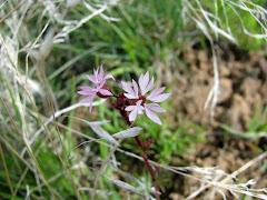 Lithophragma parviflora (Prairie Star Flower)