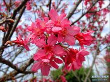 社頭清水岩寺盛開的山櫻花