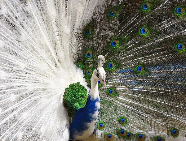 14 Most Beautiful Birds of the World - Peacock