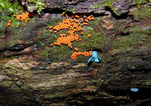 yellow fuzz cone slime - green stain fungus