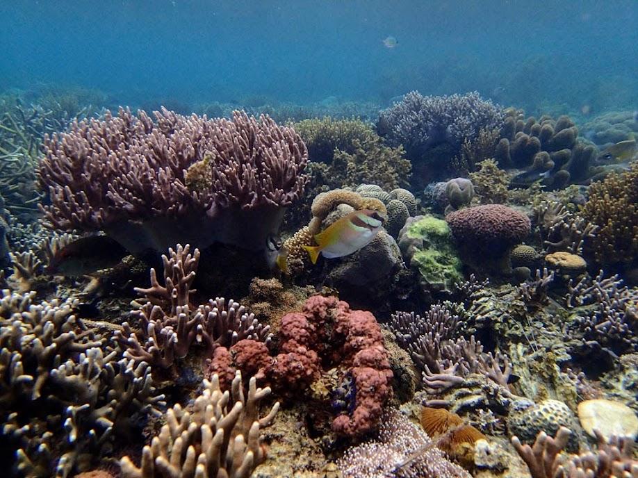 Siganus dollatus (Scribbled Rabbitfish), Sand Island, Palawan, Philippines.