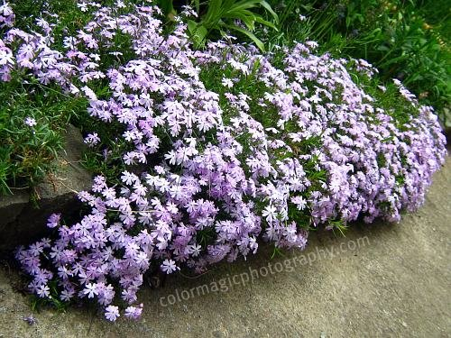Creeping Phlox edging border-Phlox subulata