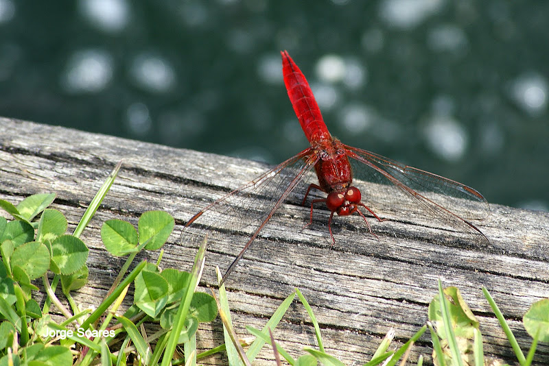Libelinha Vermelha