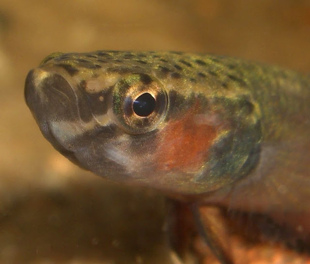 Weißsaum-Kampffisch Betta albimarginata