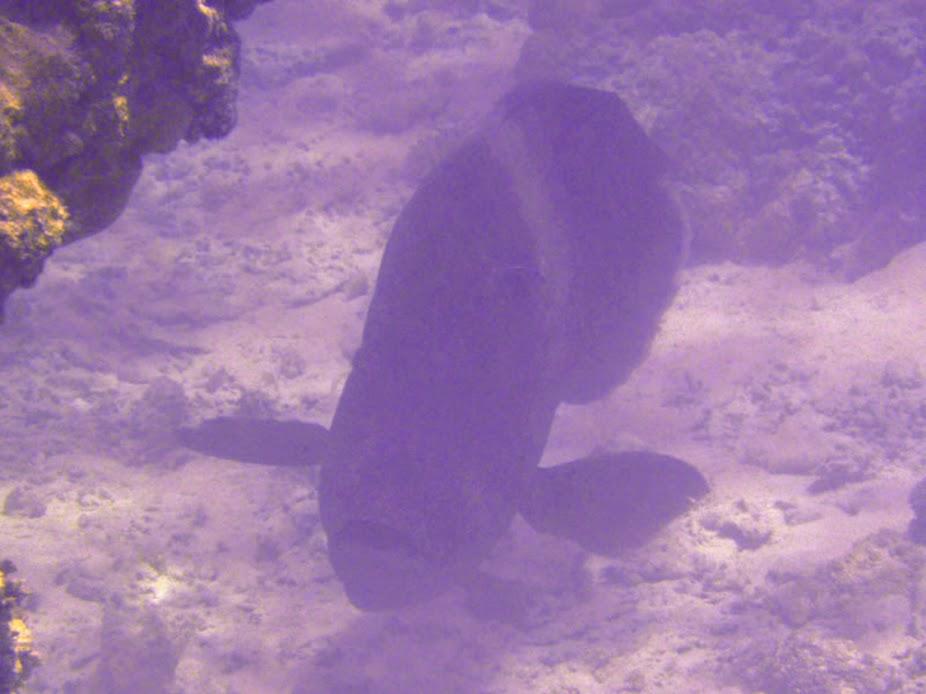 Cheilinus undulatus (Hump-head or Napoleon Wrasse), Aitutaki.